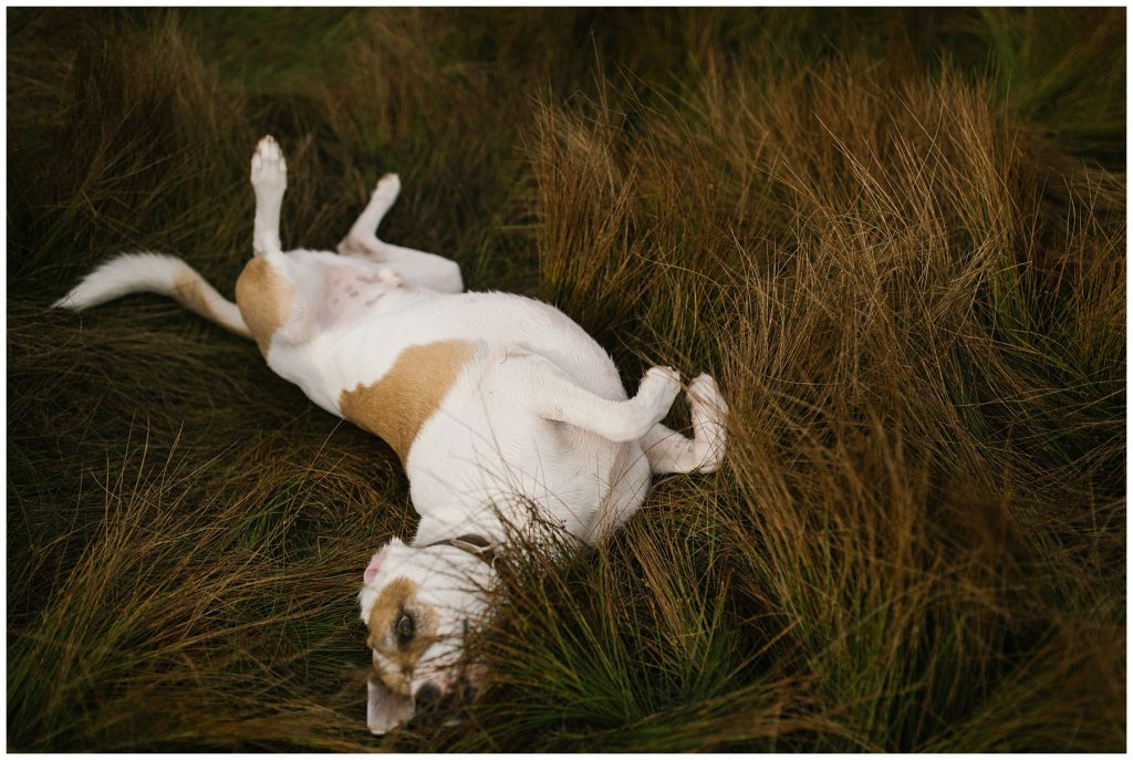 Snoqualmie Pass Lake Keechelus Engagement Session dog rolling over in grass